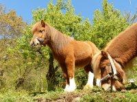Pony comiendo