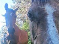 Primer plano de los caballos