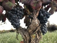 Discovering grape varieties