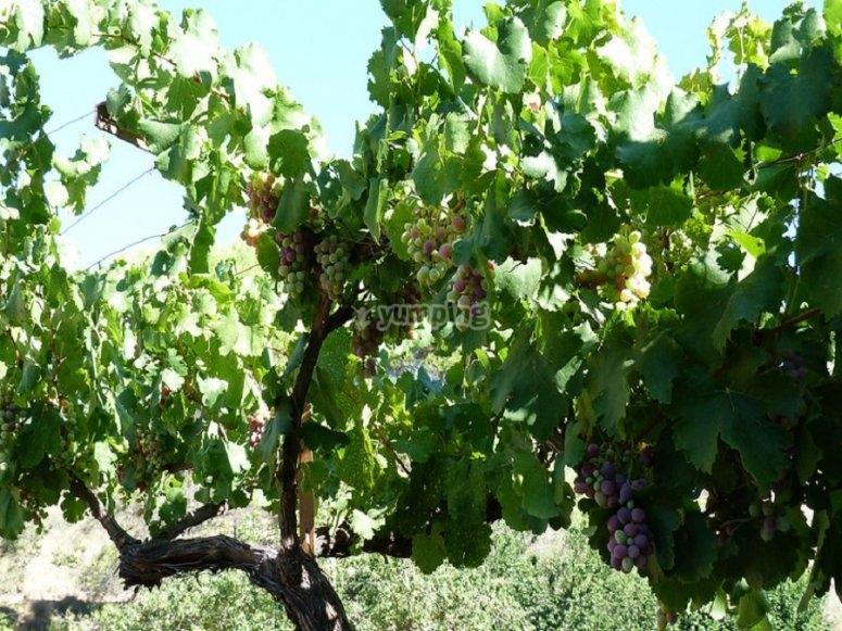 葡萄与葡萄