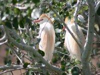 Observación de la especie Bubulcus ibis