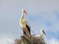 Cigüeñas blancas en su nido