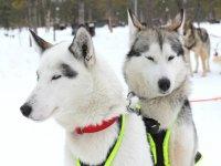 Perros de trineo en Cerler