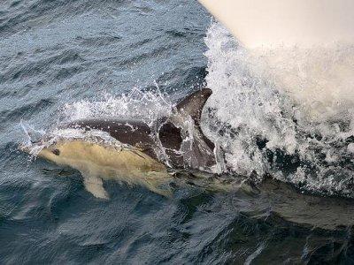 Ocean Explorer Tenerife Avistamiento de Cetáceos