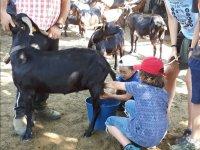 Aprendiendo a extraer leche de la cabra