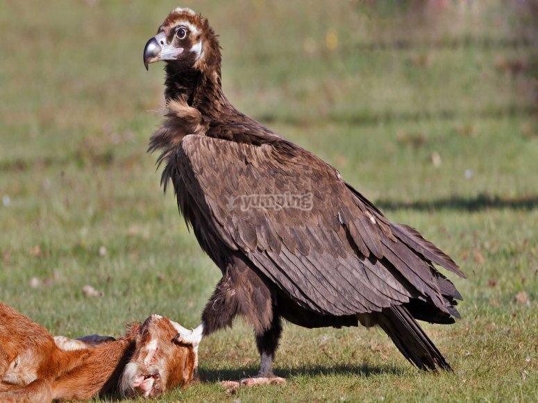 兀鹫黑秃鹫