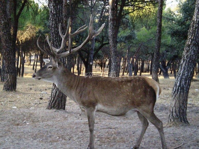 Cabaneros鹿Cabañeros国家公园的鹿