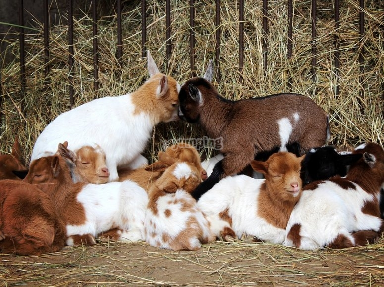 Goats sleeping