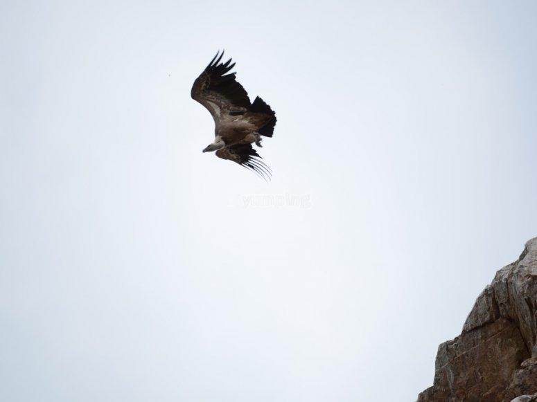 Buitre en vuelo