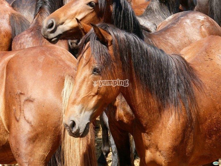 several brown horses
