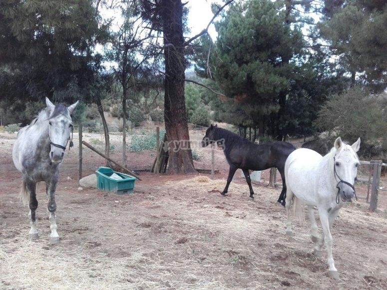 caballos muy tranquilos