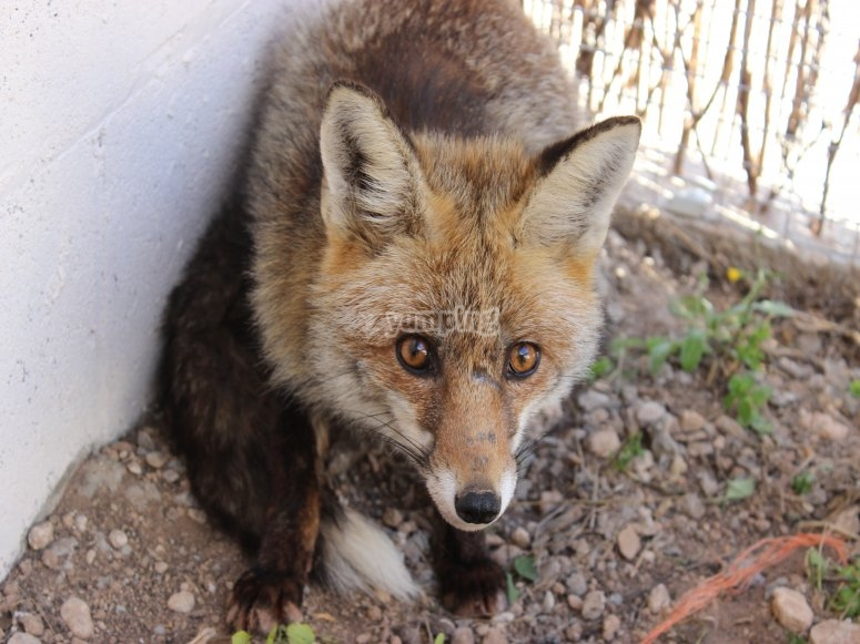 Fox in recovery