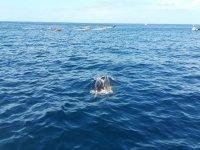 特内里费岛海岸的鲸类动物