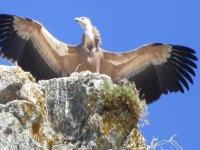 Bird observation in Hoces del Buitre