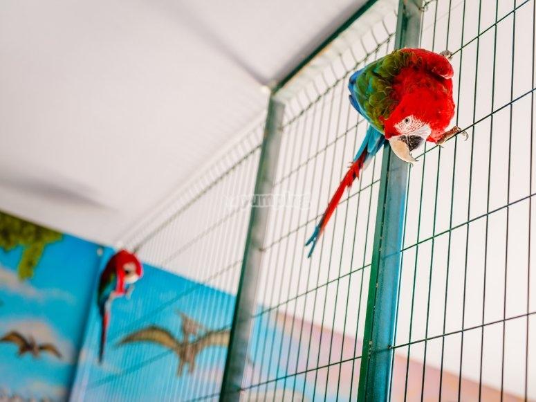 Los papagayos de los piratas
