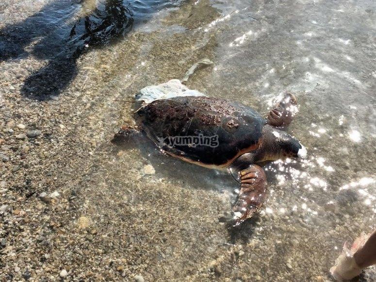 Tartaruga a la spiaggia