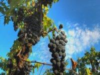 black grape clusters