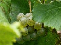 grapes among the vineyards