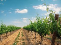 vineyard with a clear sky