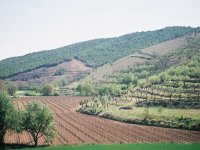 view of a sloping vineyard