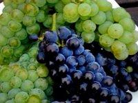racimos de unas uvas verdes y negras