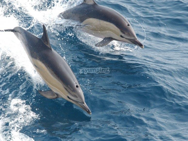 Delfines junto al barco