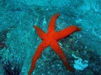 Estrella de mar bermellon