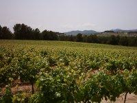 葡萄园准备收集葡萄