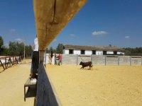 La vaquilla directa al burladero