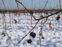 葡萄一堆雪