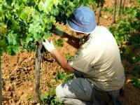 hombre cultivando la vid