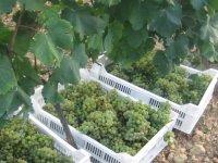 uvas en unas cajas