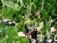 racimos de uva en un vinedo