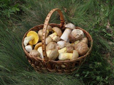 蘑菇收集洛杉矶Alcornocales公园