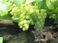 Uvas blancas en la parra
