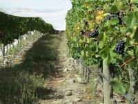 Vinedo de uva tinta