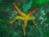 Estrella marina amarilla