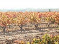Otoño en los viñedos de Navarra