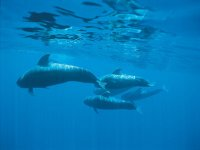 Bellos金丝雀海豚观赏日落