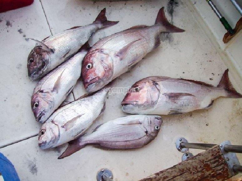 Peces capturados