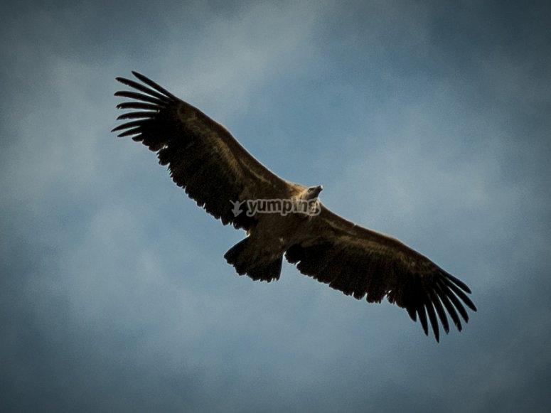 动物作为秃鹫