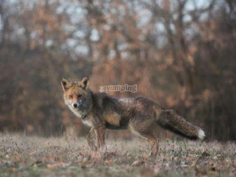 你可以看到其他动物如狐狸