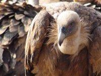 第一张图片秃鹫