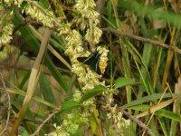mariposa camuflada