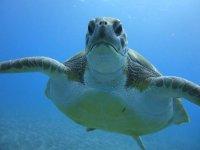 一只波巴龟