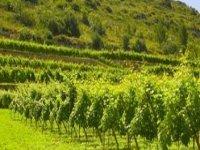 nuestros viñedos.JPG