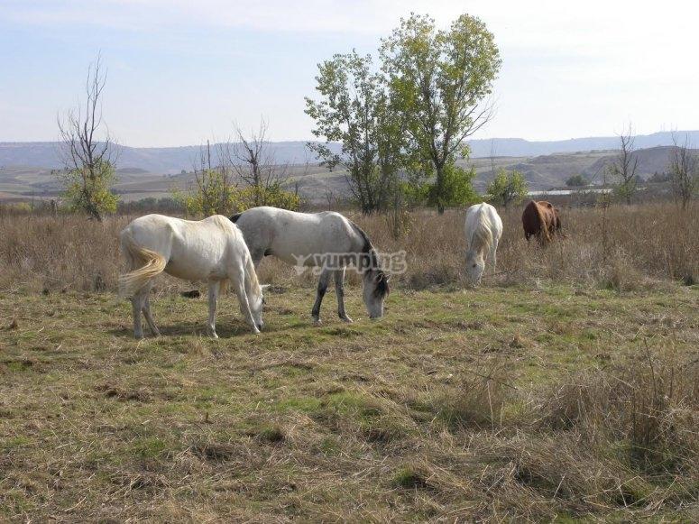 Cavalli senza ferri che mangiano