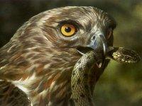 Feeding real eagle