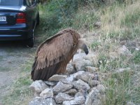 Fawn vulture