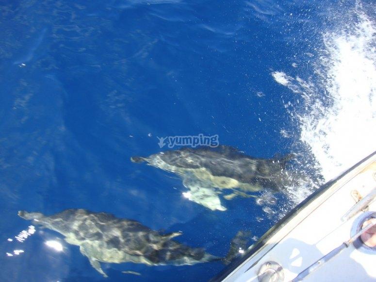 Delfines en el agua del Oceano Atlantico